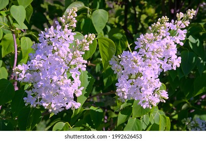 Spring blooming purple lilac bush on the green background