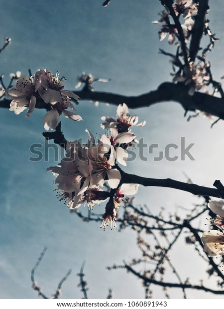 Spring blooming tree