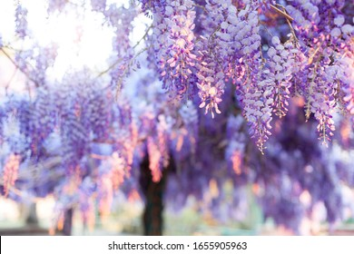 Spring blooming tree. Wisteria in sunset garden. Beautiful flowers blossom in Japanese park.