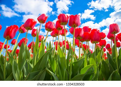 Spring blooming tulip field. Spring floral background. Flowers tulips, the symbol of the Netherlands. Red tulips and blue sky, sunny spring day.