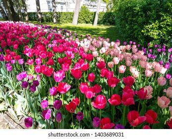 Spring blooming tulip flowers view. Tulip flowers in spring blooming. Pink tulips in spring bloom. Spring pink tulips blooming