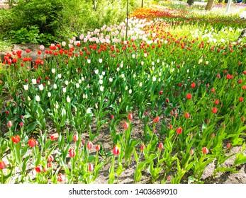 Spring blooming tulip garden landscape. Tulip festival in Saint Petersburg, Russia. Spring bloom tulip blossoms. Spring tulip blooming garden