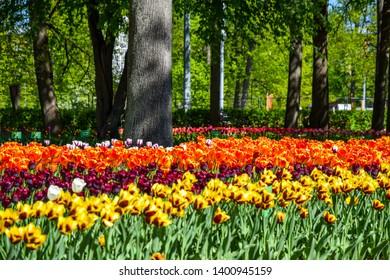 Spring blooming tulip meadow scene. Tulip festival in Saint Petersburg, Russia. Spring blooming tulip flowers. Tulip flowers in spring blooming garden