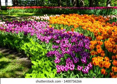 Spring blooming tulips blossom view. Tulip festival in spring Saint Petersburg, Russia. Spring blooming purple and orange tulip flowers. Spring blooming tulips view