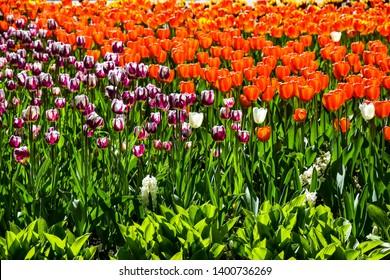 Spring blooming tulips in city park. Orange tulip flowers in spring garden. Tulip festival in Saint Petersburg, Russia. Spring blooming tulips flowers