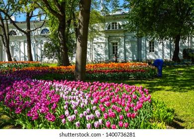 Spring blooming tulips in city park. Tulip festival in spring Saint Petersburg, Russia. Beautiful tulips blooming landscape. Spring park blooming tulip flowers