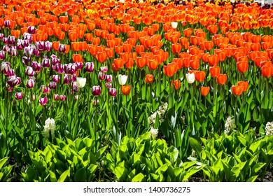 Spring blooming tulips flowers scene. Orange tulip flowers in spring blooming. Tulip festival in spring blooming Saint Petersburg, Russia. Spring tulips view