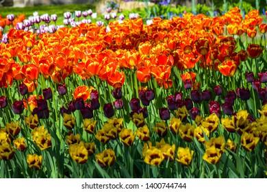 Spring blooming tulips flowers view. Spring tulip flowers. Tulip festival in spring Saint Petersburg, Russia. Spring blooming tulip garden