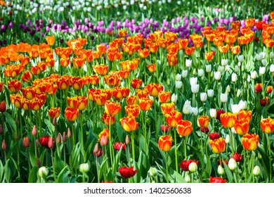 Spring blooming tulips in garden. Colorful tulip flowers in spring park. Tulip festival in Saint Petersburg, Russia. Spring blooming tulip flowers