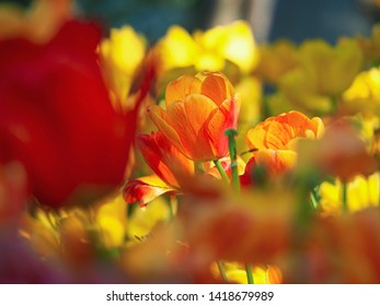 Spring blooming tulips in garden. Colorful tulip flowers in the park. Tulip festival decoration in Istanbul , Turkey.