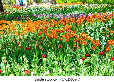 Spring blooming tulips garden view. Tulip festival in spring Saint Petersburg, Russia. Spring blooming tulip flowers garden. Spring garden tulips blooming