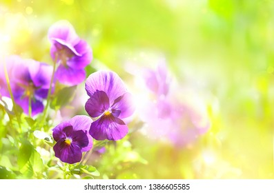 Spring blooming Viola flowers in soft focus on light green background outdoor close up. Spring template Viola floral background. Elegant gentle artistic spring flowers image. copy space