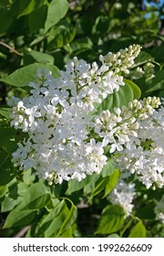 Spring blooming white lilac bush on the green background