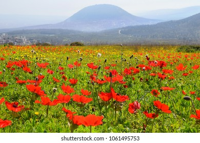 spring blooming of wildflowers in Galilee near the Nazareth, against the background biblical Mount Tabor, Israel
