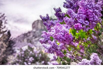 Arenaria Montana Images, Stock Photos & Vectors   Shutterstock