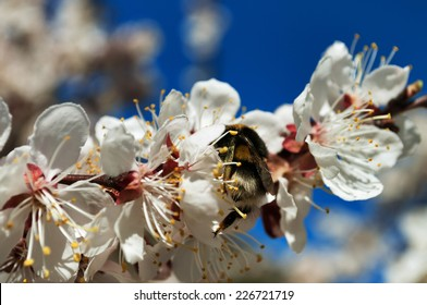 Spring blossom apricot flower with bumblebee on the blue sky background