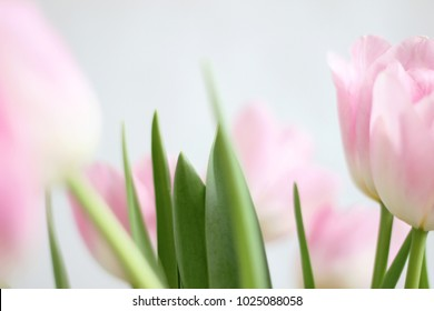 Spring Blossom art design with blooming Pale Pink Tulips. Holiday Scene with Pink Spring Flowers. Beautiful Green Floral Nature Background. Springtime. Beautiful Tulips Closeup. Spring Holidays.