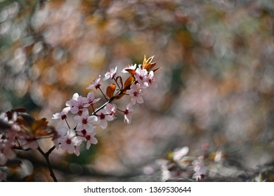 Spring blossom background. Beautiful nature scene with blooming cherry tree - Sakura. Orchard Abstract blurred background in Springtime.