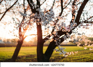 Spring blossom background. Beautiful nature scene with blooming tree and sun flare. Sunny day. Spring flowers.