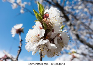 Spring blossom background with blooming tree