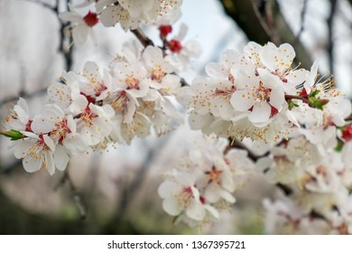 Spring blossom background. Flowering apricots close up.