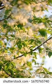 Spring blossom bird cherry branch. flowering bird cherry  - Shutterstock ID 1670765740