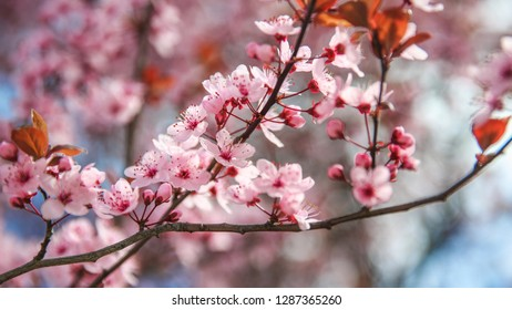 Spring blossom border with pink blooming tree. Beautiful nature scene with flowers on tree and sun flare. Sunny day. Beautiful Orchard