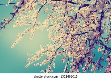 Spring Blossom flowers /Spring Background