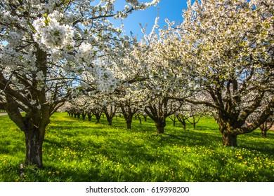 Spring blossom on apple trees