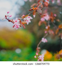 Spring blossom. Pink flowers of cherry plum tree.