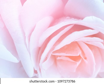 Spring blossom rose flowers unfocused blur rose petals, abstract romance background, pastel and soft focus flower background.