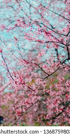 Spring blossom tenderness. Bright flowers of cherry plum tree on background of blue sky. Cyan pink color contrast.