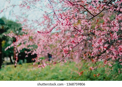 Spring blossom tenderness. Pink flowers of cherry plum tree on background of blue sky.
