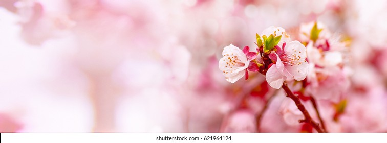 Spring blossom. White apricot flowers. Apricot tree. Nature scene with blooming. Purple background with space for text. Banner