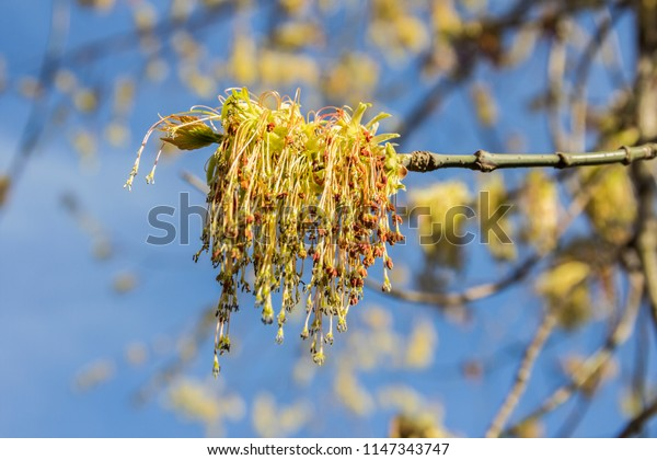 Spring blossoming of the ash-leaved maple tree, Acer negundo, close up shot against blurry branches and sky background