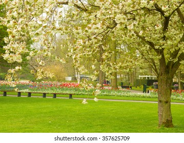 spring  blossoming cherry tree and  green lawn