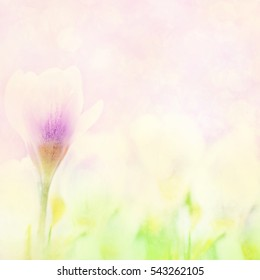 Spring blossoming crocuses, selective focus, shallow DOF, toned, light and heart bokeh background, pastel and soft card