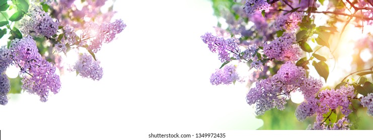 Spring blossoming lilac, banner. Hello spring concept. gentle lilac flowers. Flowers violet lilac in sun glow with beautiful bokeh. Floral romantic image spring nature. copy space
