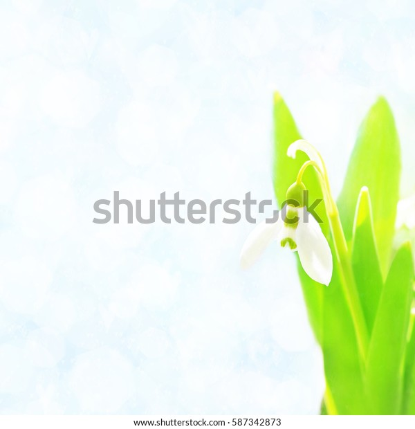Spring blossoming snowbell/snowdrop, selective focus, shallow DOF, toned, light and heart bokeh background, pastel and soft card