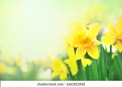 Frühlingserblühende gelbe Narzissen im Garten, blühende Narzissen (Jonquil), flacher DOF, getönt