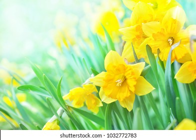 Spring blossoming yellow daffodils in green grass, springtime blooming narcissus (jonquil) flowers in garden, selective focus, shallow DOF