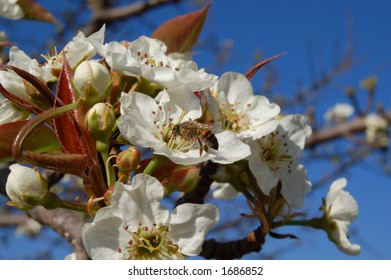 SPRING BLOSSOMS WITH BEE AGAINST BLUE SKY