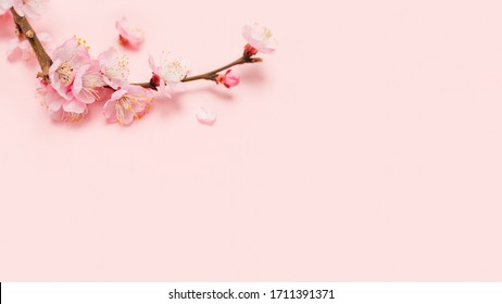 Spring blossoms blooming isolated on pink background, close up copy space, flowers tree branch blooming. Pastel pink background, bloom delicate flowers. Springtime concept. - Shutterstock ID 1711391371