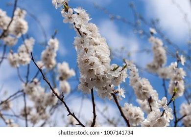 Spring blossoms branch background blue sky