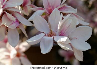 Spring Blossoms of a Magnolia tree