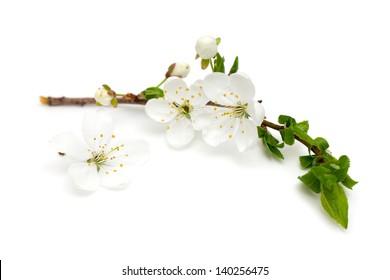 spring blossoms over white