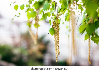 Spring blossoms tree birch with young green leaves. Spring blossoms tree birch with young green leaves