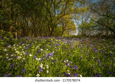 Spring Bluebells and Flowers, Oversley Woods, Alcester Warwickshire