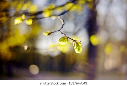 Spring blurred background with green escapes on linden bush branches