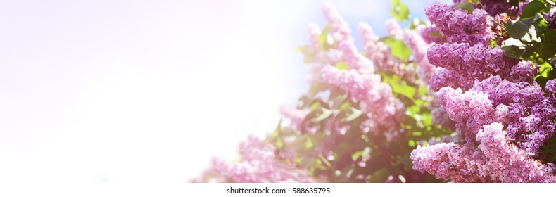 Spring border abstract blured background art with pink lilac flower  blossom. Beautiful nature scene with blooming tree and sun flare. Easter Sunny day.  Springtime.